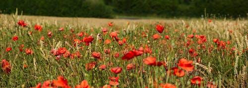 乾草地, 乾草田, 增長, 夏天 的 免費圖庫相片