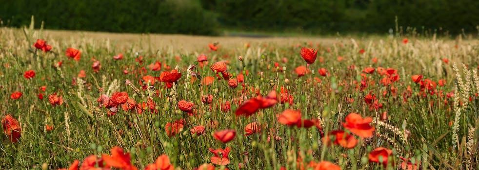 1000 interesting poppy flowers photos pexels free stock photos free stock photo of nature field flowers summer mightylinksfo