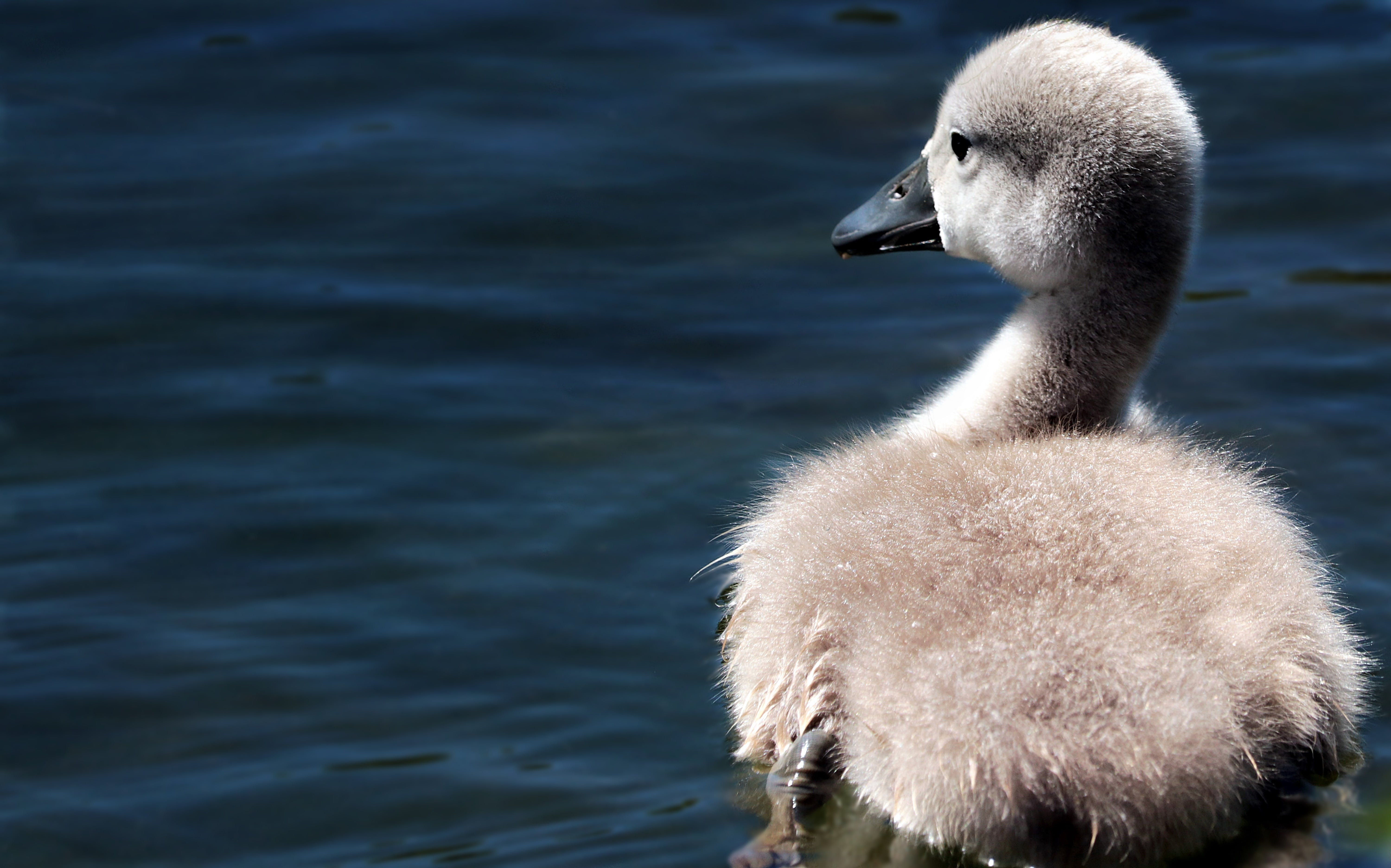 Gray Duck on Body of Water
