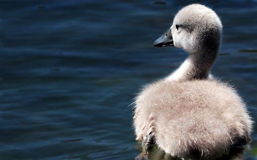 Imagine de stoc gratuită din animal, animal mic, animale sălbatice, apă