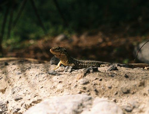 Free stock photo of analog, animal, lizard
