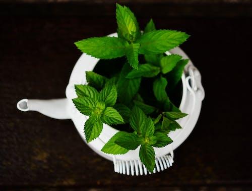 Imagine de stoc gratuită din ceainic, condiment, creștere, mentă