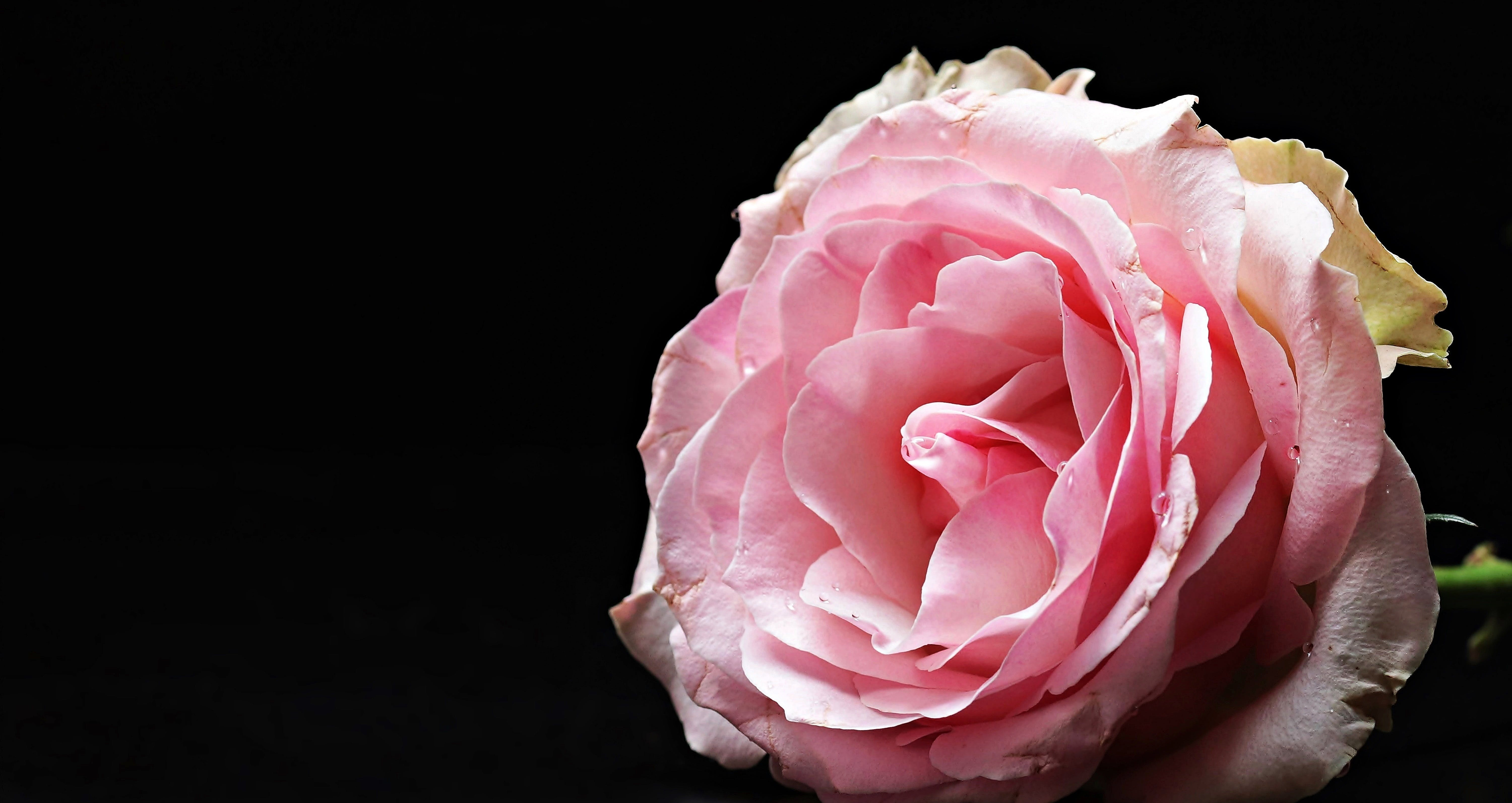 Free stock photo of love, flower, valentine's day, pink