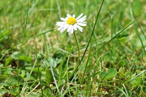 คลังภาพถ่ายฟรี ของ การเจริญเติบโต, ดอกคาโมไมล์, ดอกเดซี, ทุ่งหญ้าแห้ง