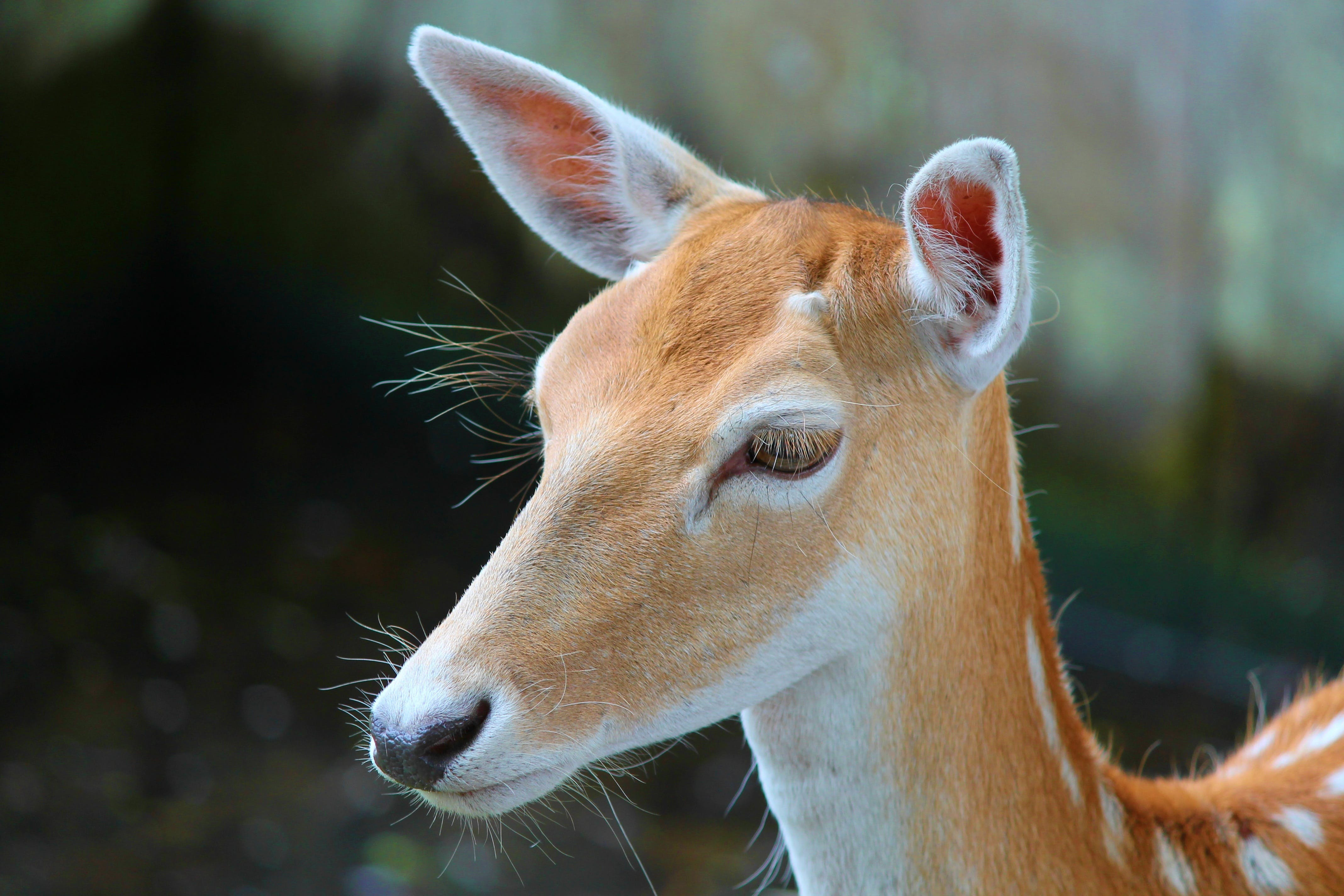 Selective-focus Photography of Brown Deer
