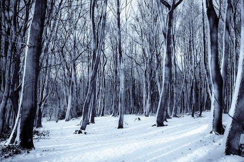 Kostnadsfri bild av kall, natur, skog, snö