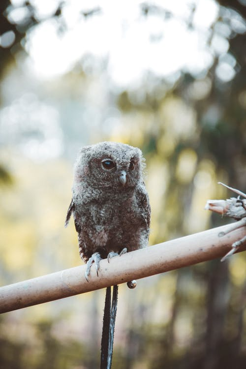 Brown Owl on Brown Wooden Fence