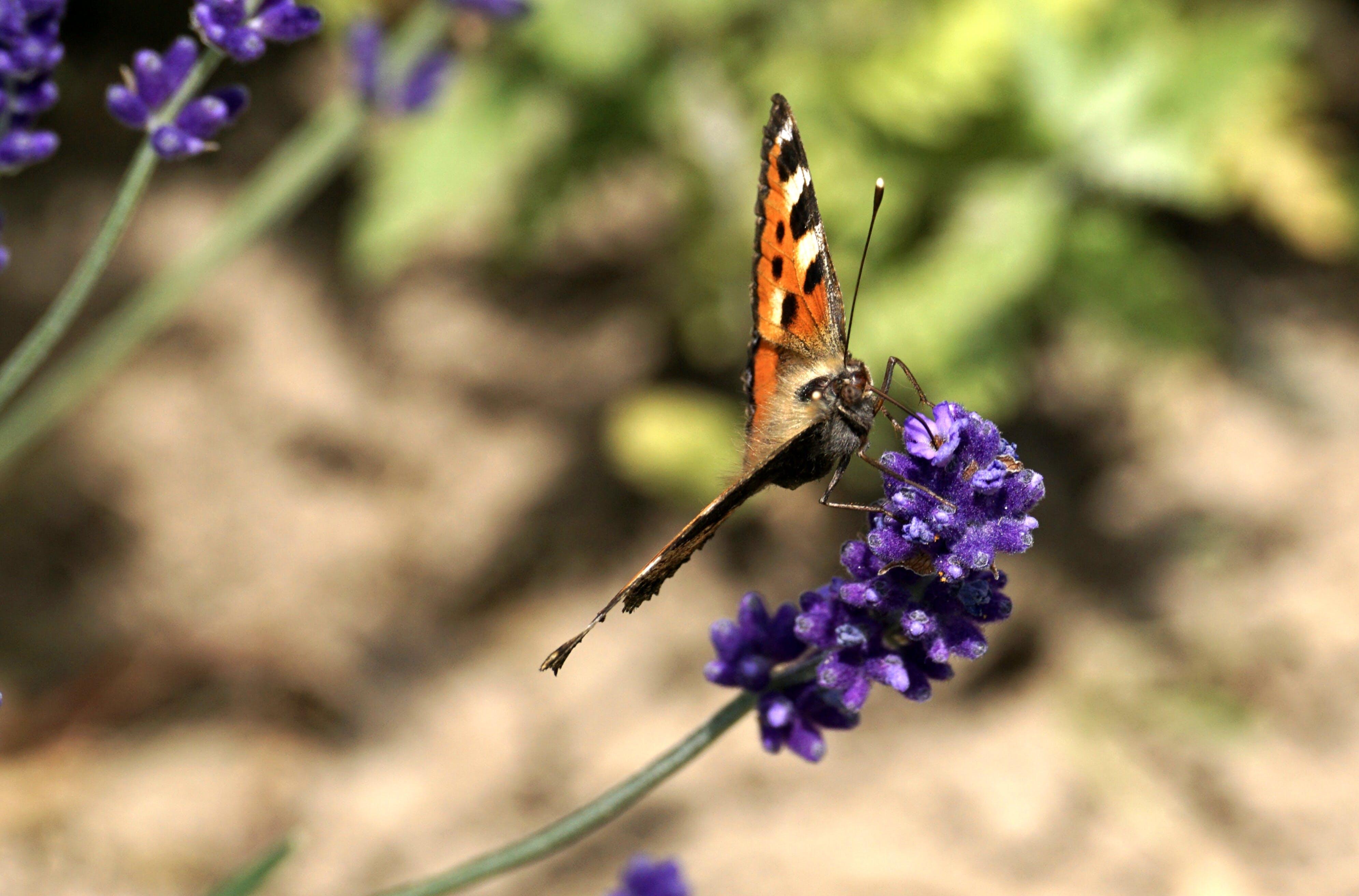 Black and Orange Butterfly on Lavender Flower