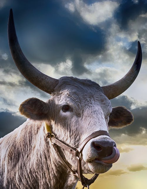 Fotobanka sbezplatnými fotkami na tému býk, cicavec, dobytok, hospodárske zviera