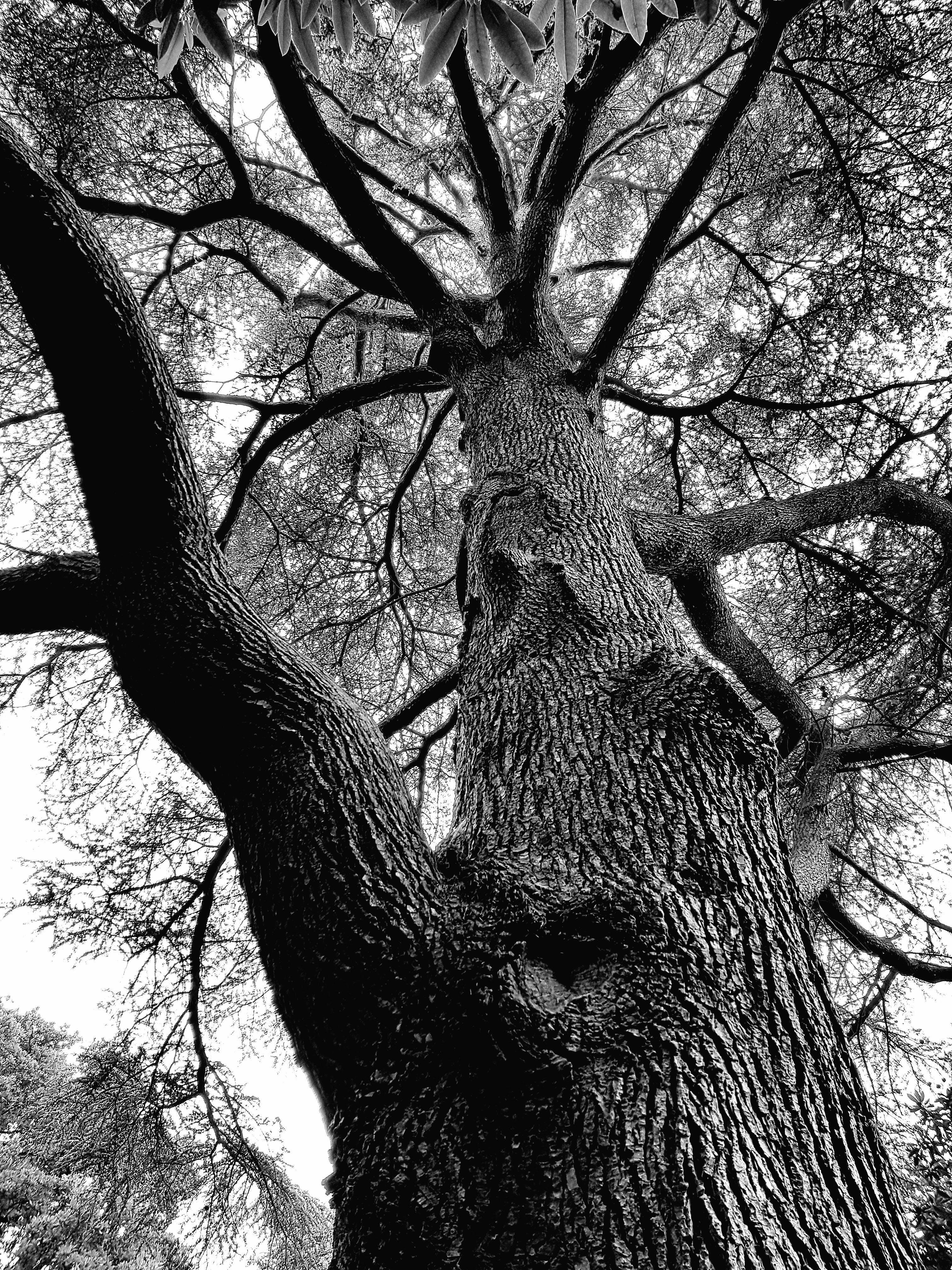 Imagine de stoc gratuită din alb-negru, arbore, buștean, crengi