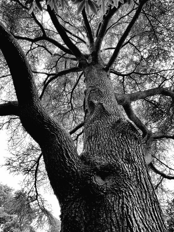 černobílý, kmen stromu, kůra
