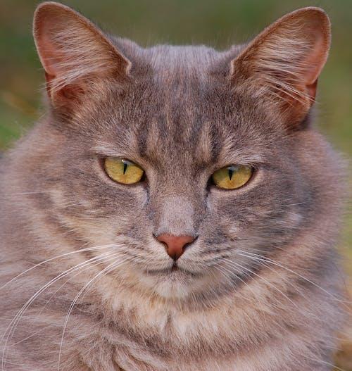 Безкоштовне стокове фото на тему «великий план, вуса, кішка, котячі»