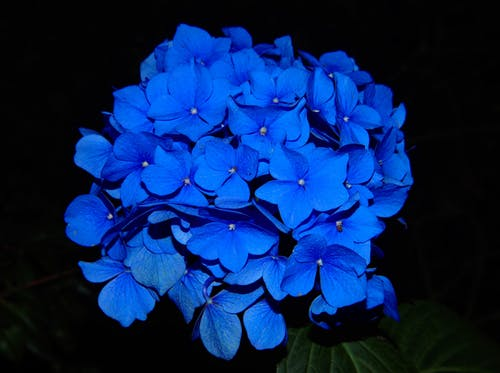 Close-up Photo of Blue Hydrangeas in Bloom