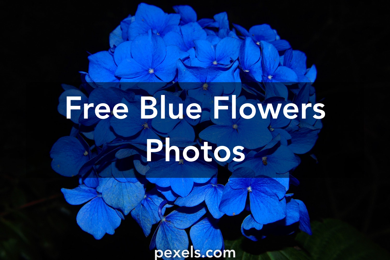 Free stock photos of blue flowers pexels izmirmasajfo Image collections