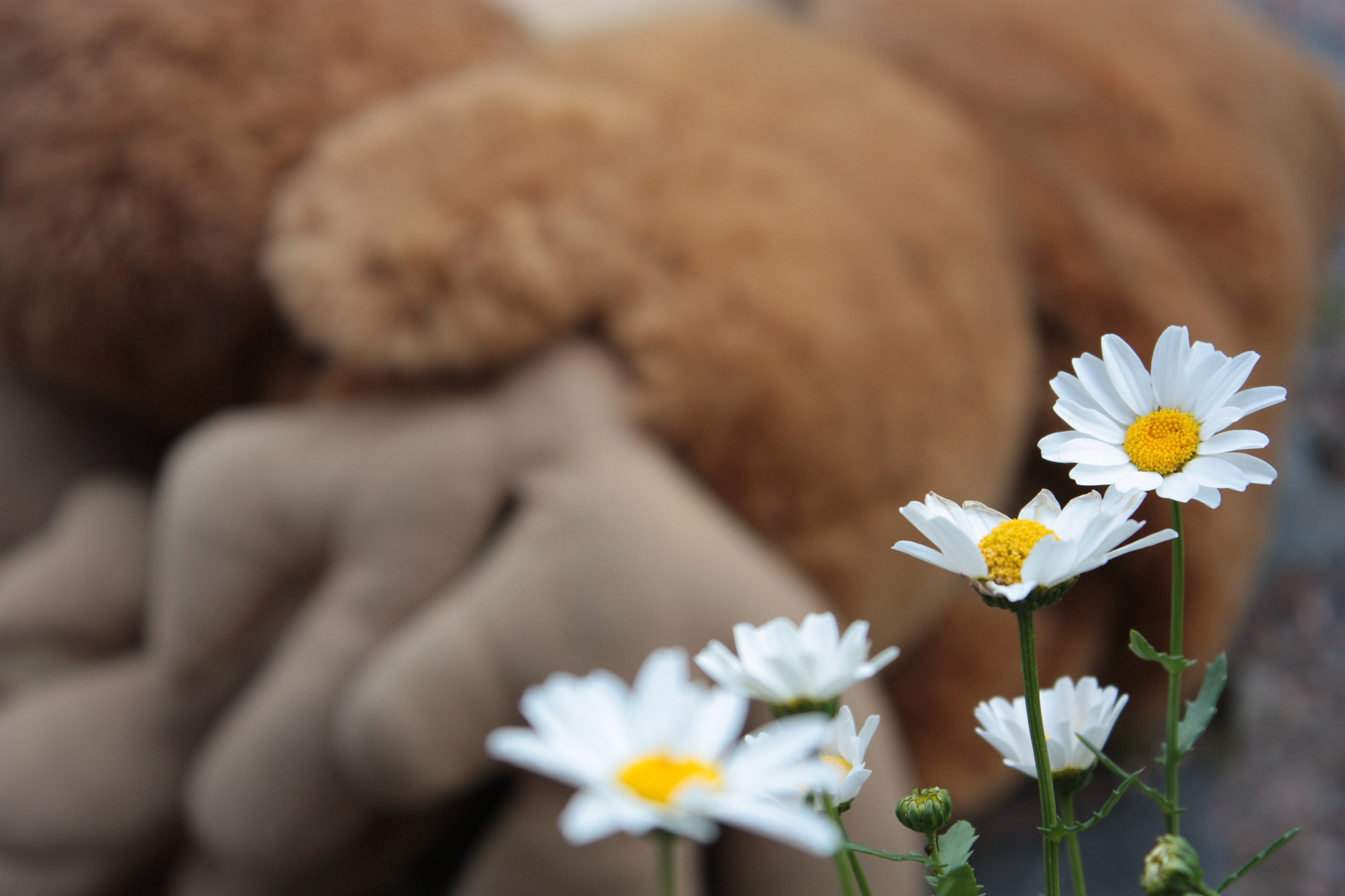 White Daisies Beside Brown Plush Toy Selective-focus Photography
