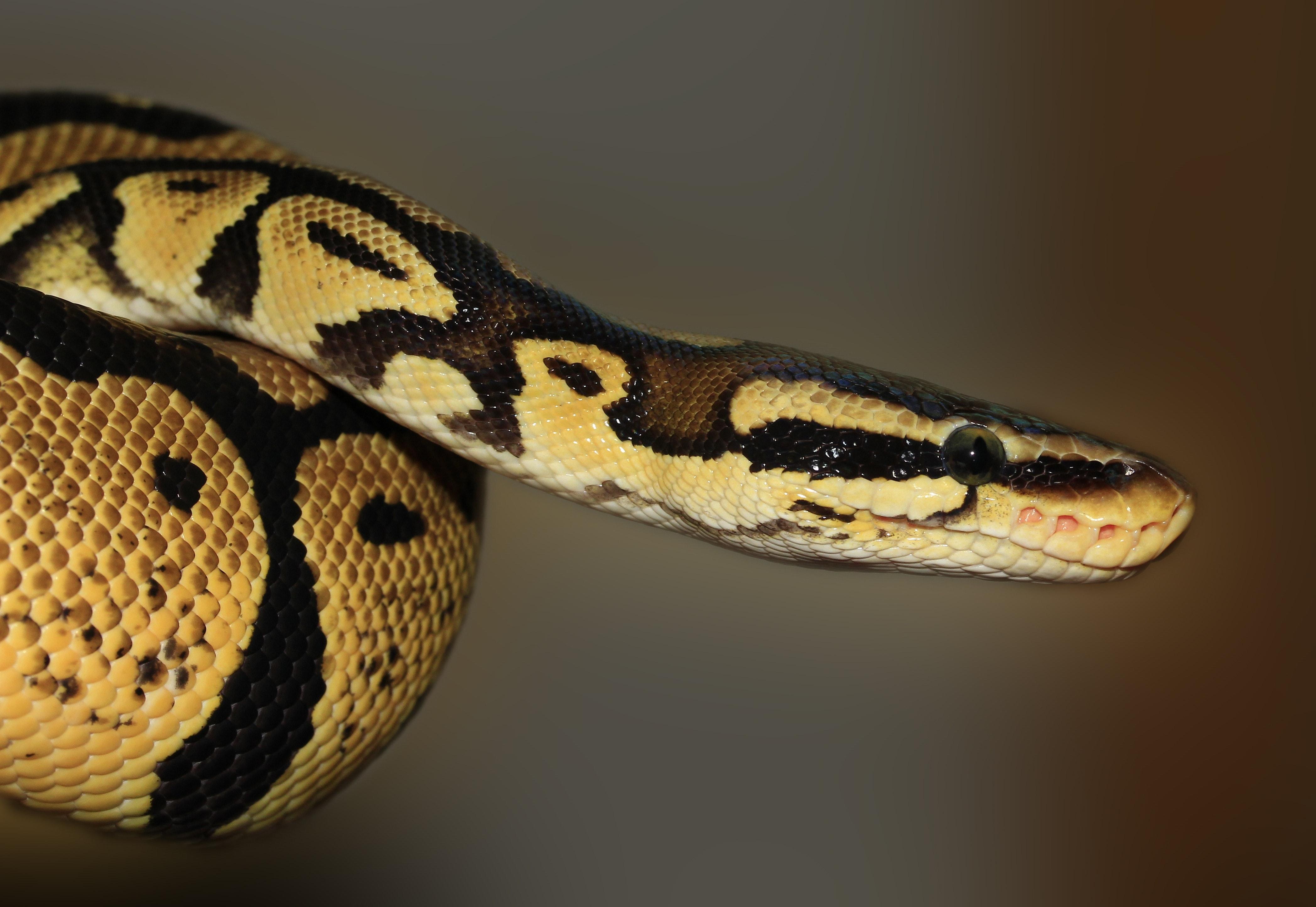 Kostenloses Foto zum Thema: augen, grün, grünen baum python