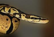 reptile, macro, snake