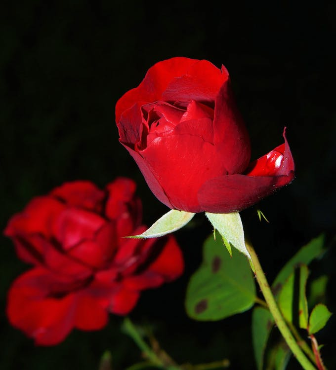 ดอกกุหลาบ, ดอกไม้, พฤกษา