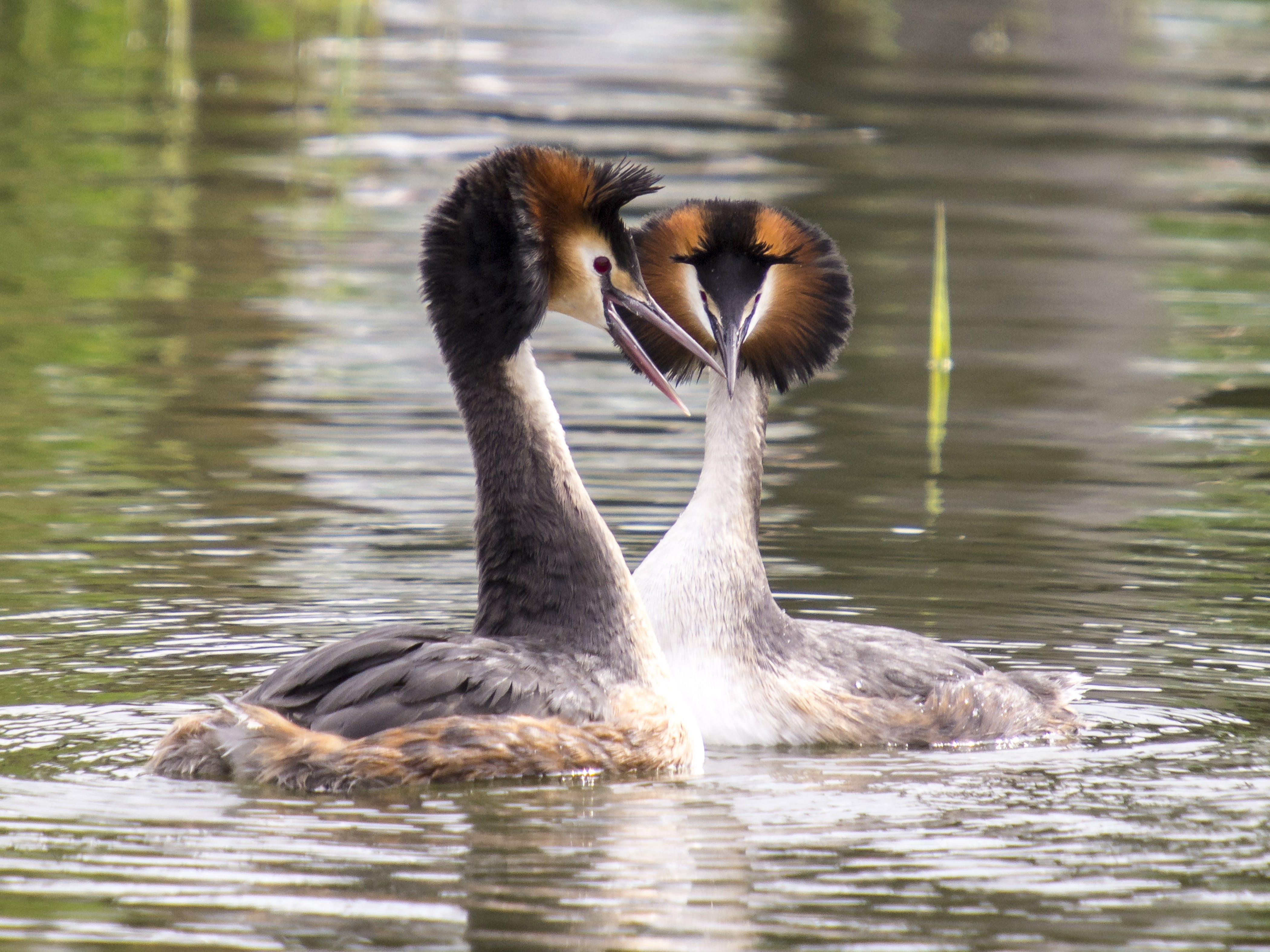 Free stock photo of animal, bird, great crested grebe, nature