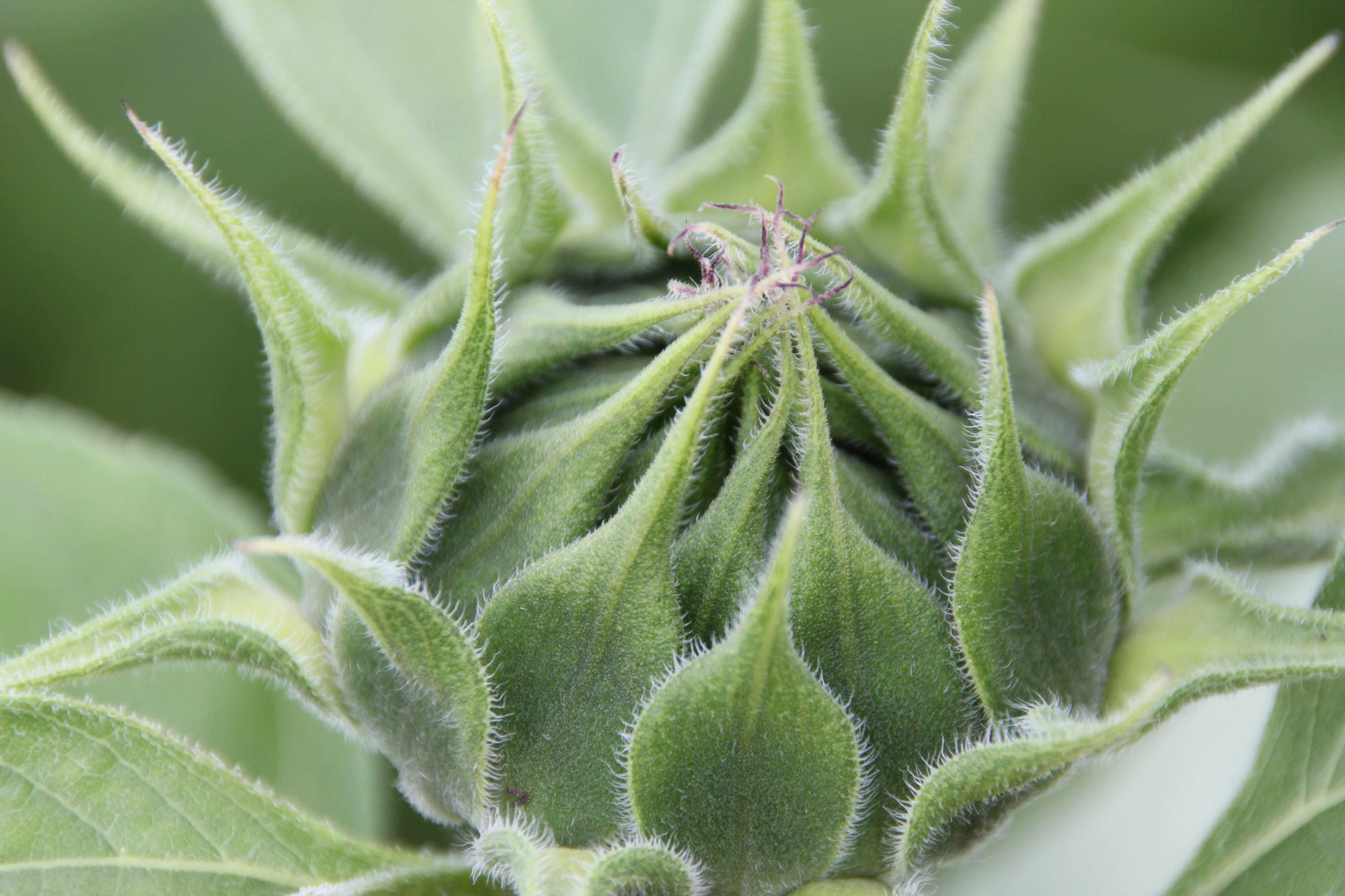 꽃봉오리, 녹색, 식물, 클로즈업의 무료 스톡 사진