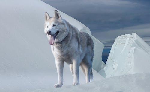 Alaskan Malamute Op Met Sneeuw Bedekte Grond