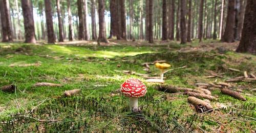 Δωρεάν στοκ φωτογραφιών με toadstool, γρασίδι, δασικός, δέντρα