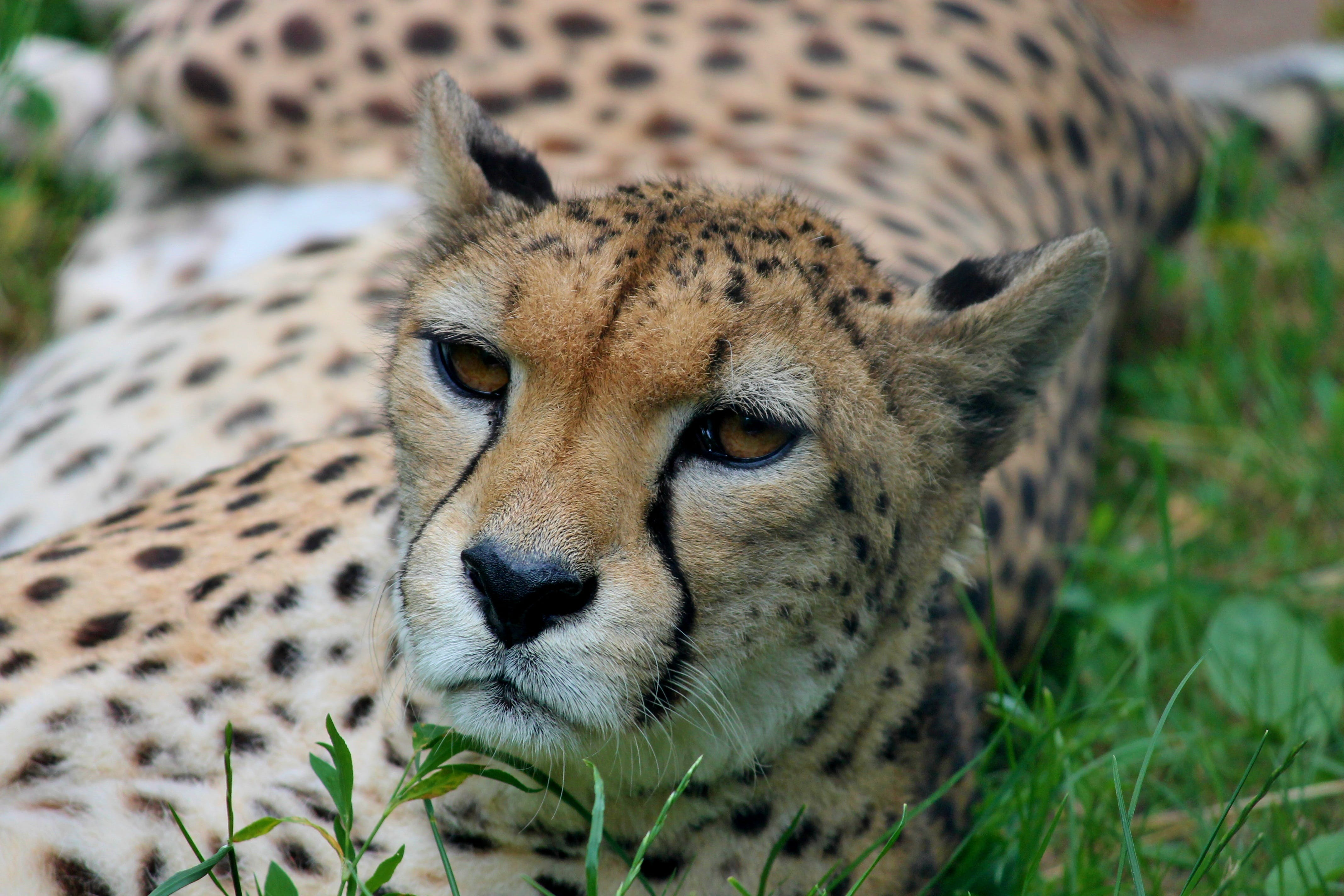Cheetah in Green Grass Field