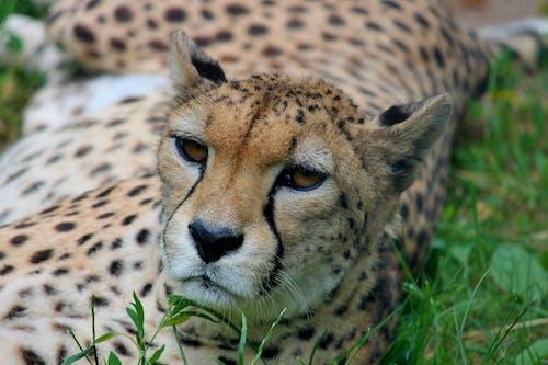 Foto d'estoc gratuïta de Àfrica, animal, animal salvatge, bufó
