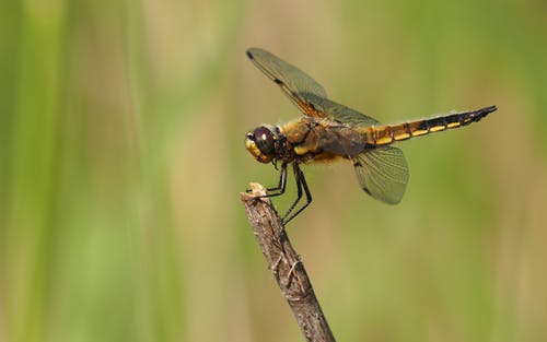 Brown and Black Dragon Fly