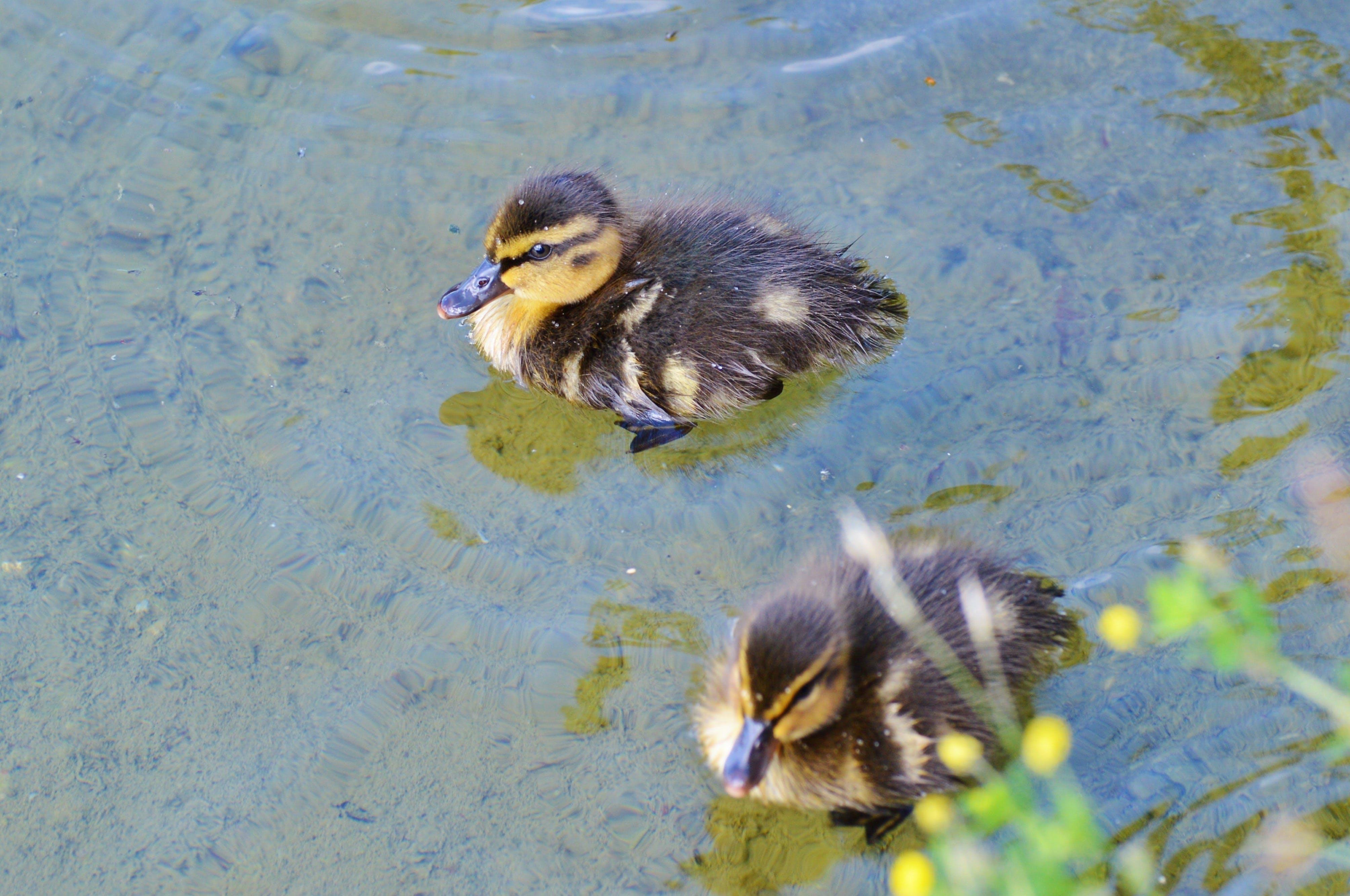 Free stock photo of animal children, animal world, chicks, cute