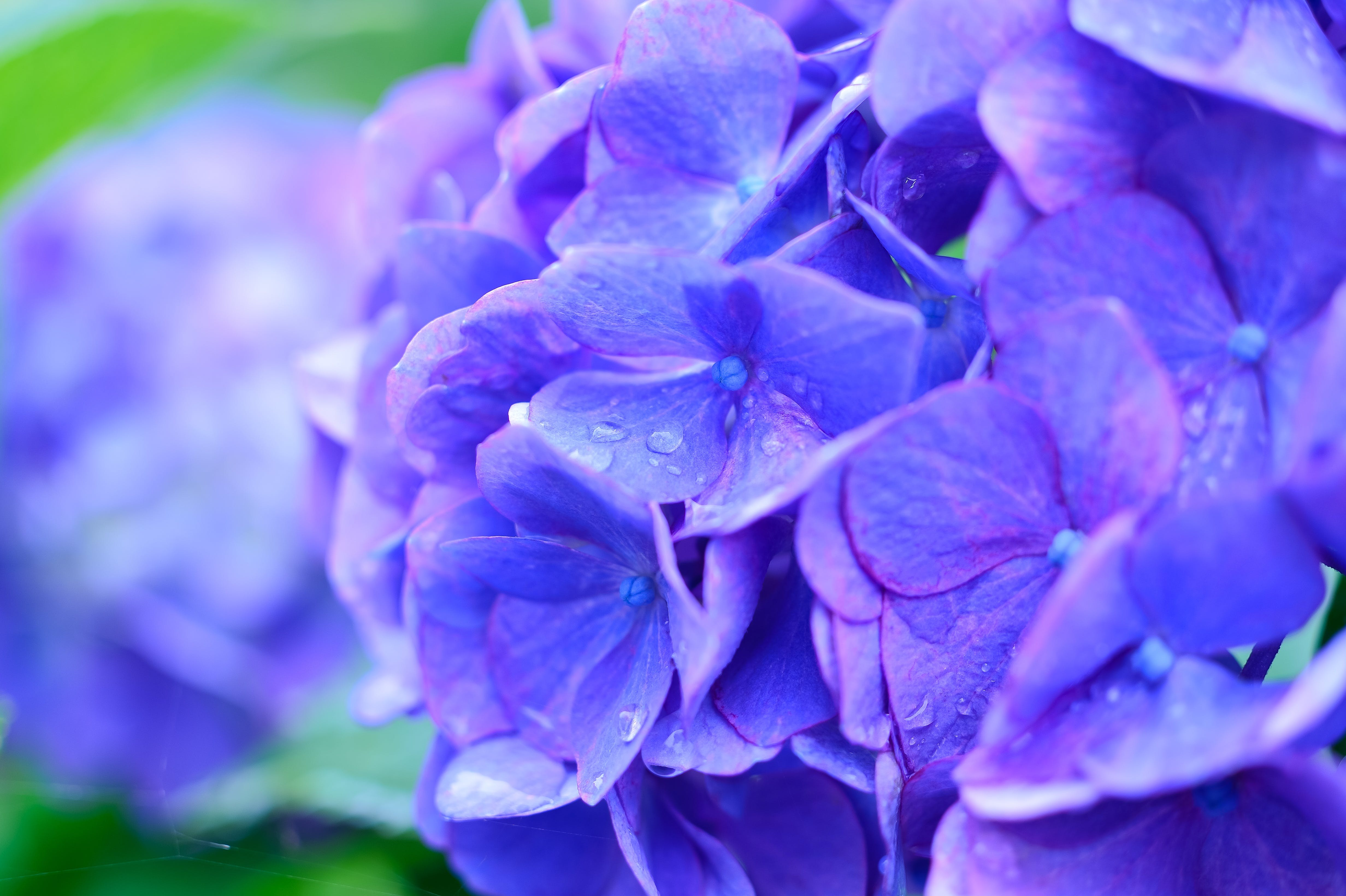 Free stock photo of nature, flowers, blue, summer