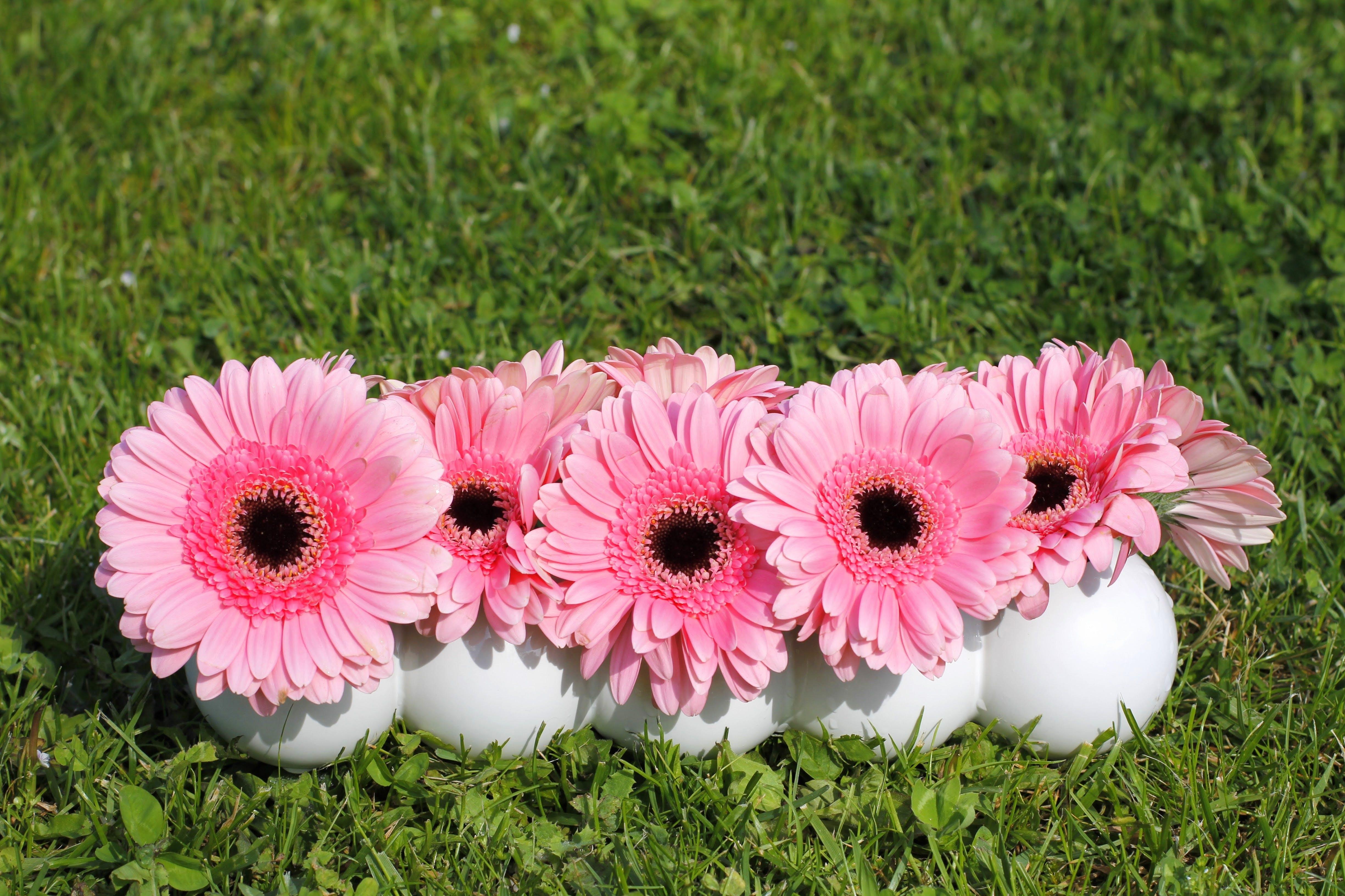 Gratis lagerfoto af blomster, flora, gerbera, græs