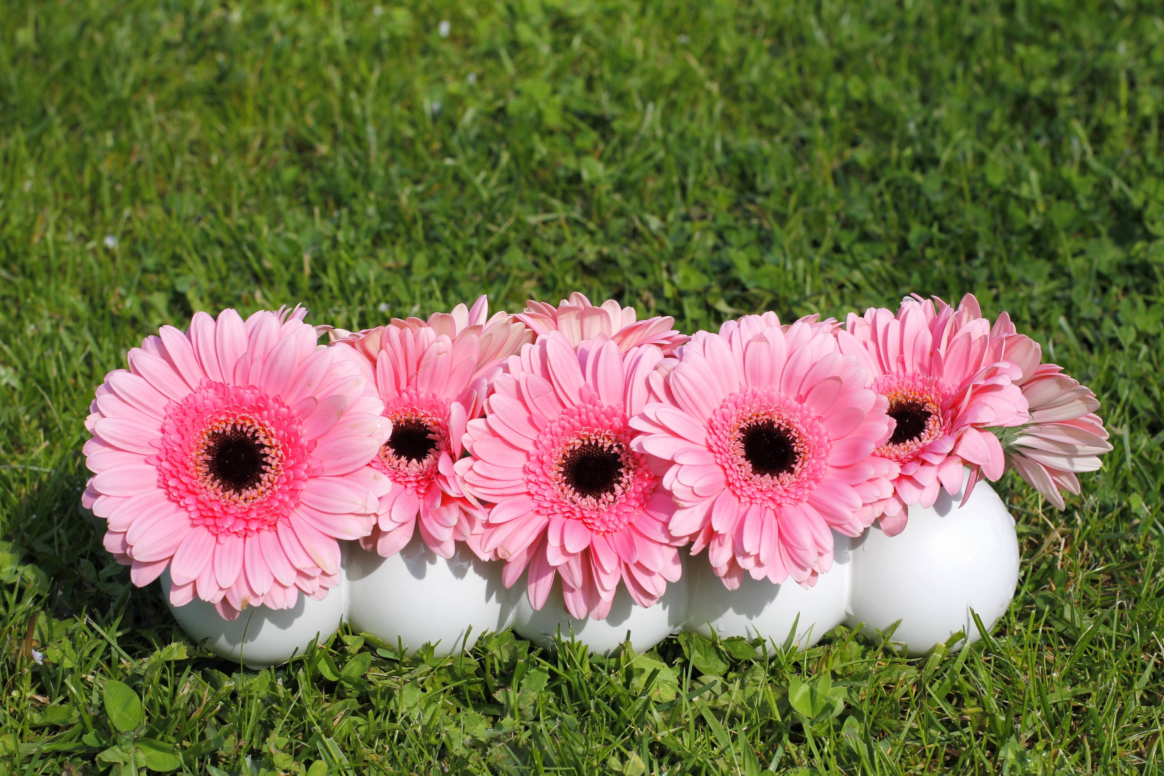 Five Pink Daisy Flowers on White Pot