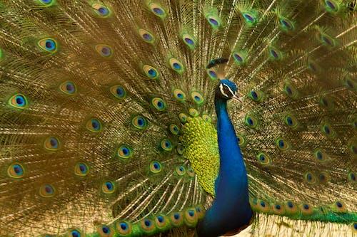 Kostnadsfri bild av blå, djur, elegant, fågel