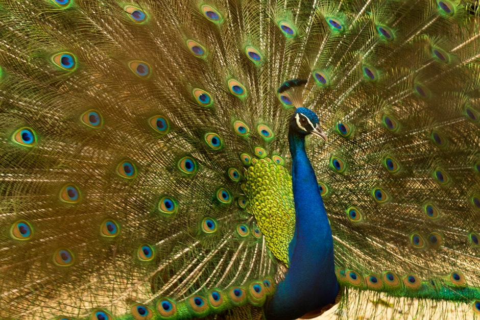 animal, bird, blue