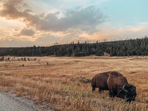 Wild buffalo pasturing on dry field at sundown