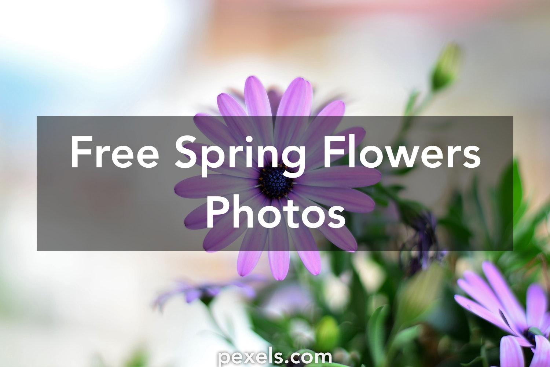 1000 beautiful spring flowers photos pexels free stock photos mightylinksfo