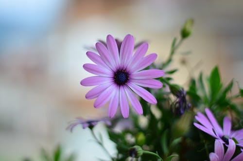 Selective-focus Photography of Purple Petaled Flower in Bloom