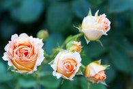 flowers, petals, plant