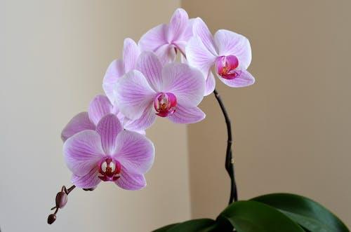 Gratis lagerfoto af blomster, flora, kronblade, lilla orkidé