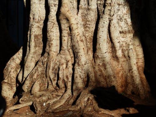 Foto profissional grátis de árvore, carvalho, raízes, tronco