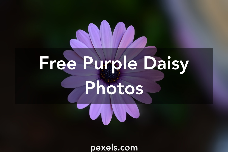 500 Interesting Purple Daisy Photos Pexels Free Stock Photos