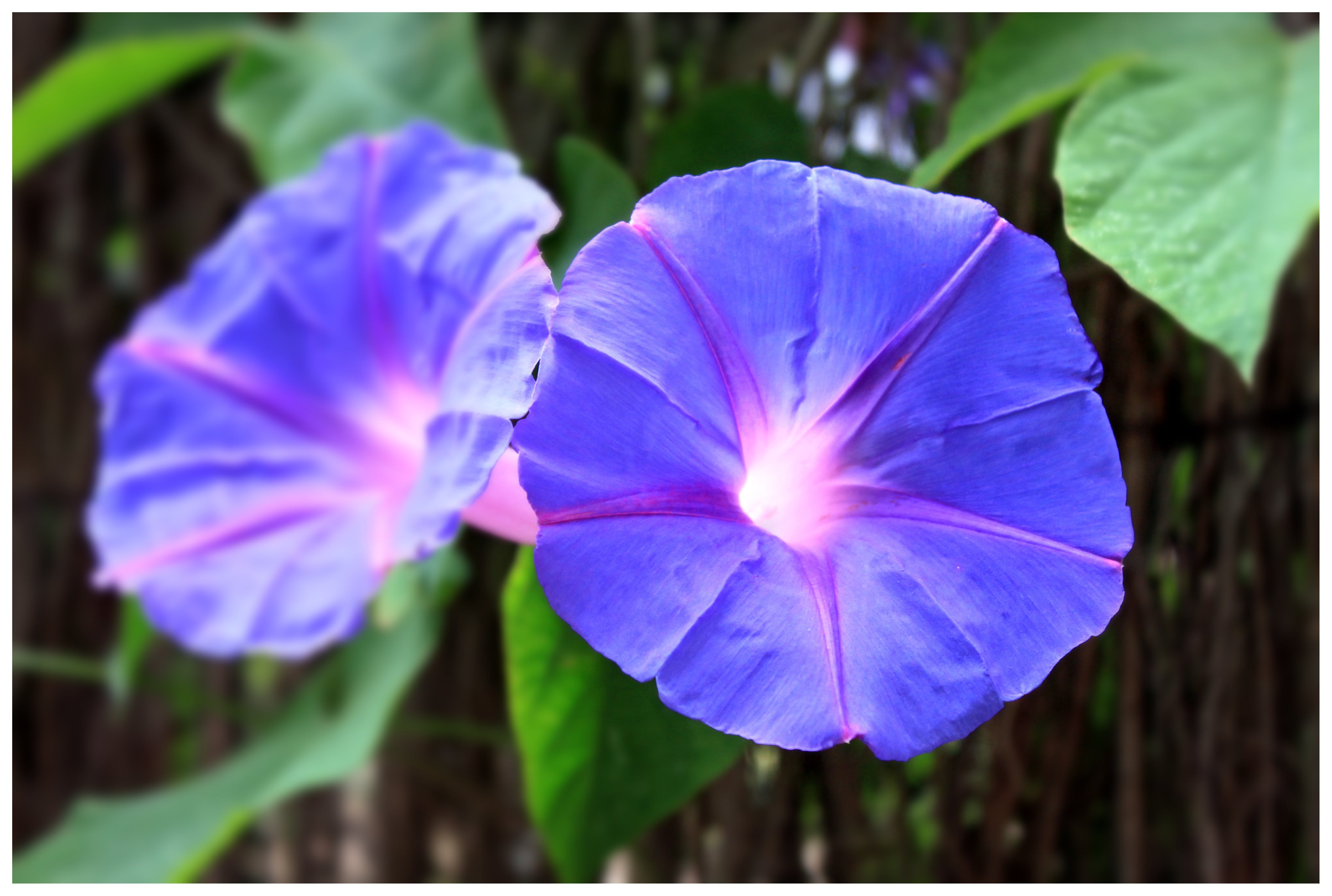 2 Blue Flowers during Daytime