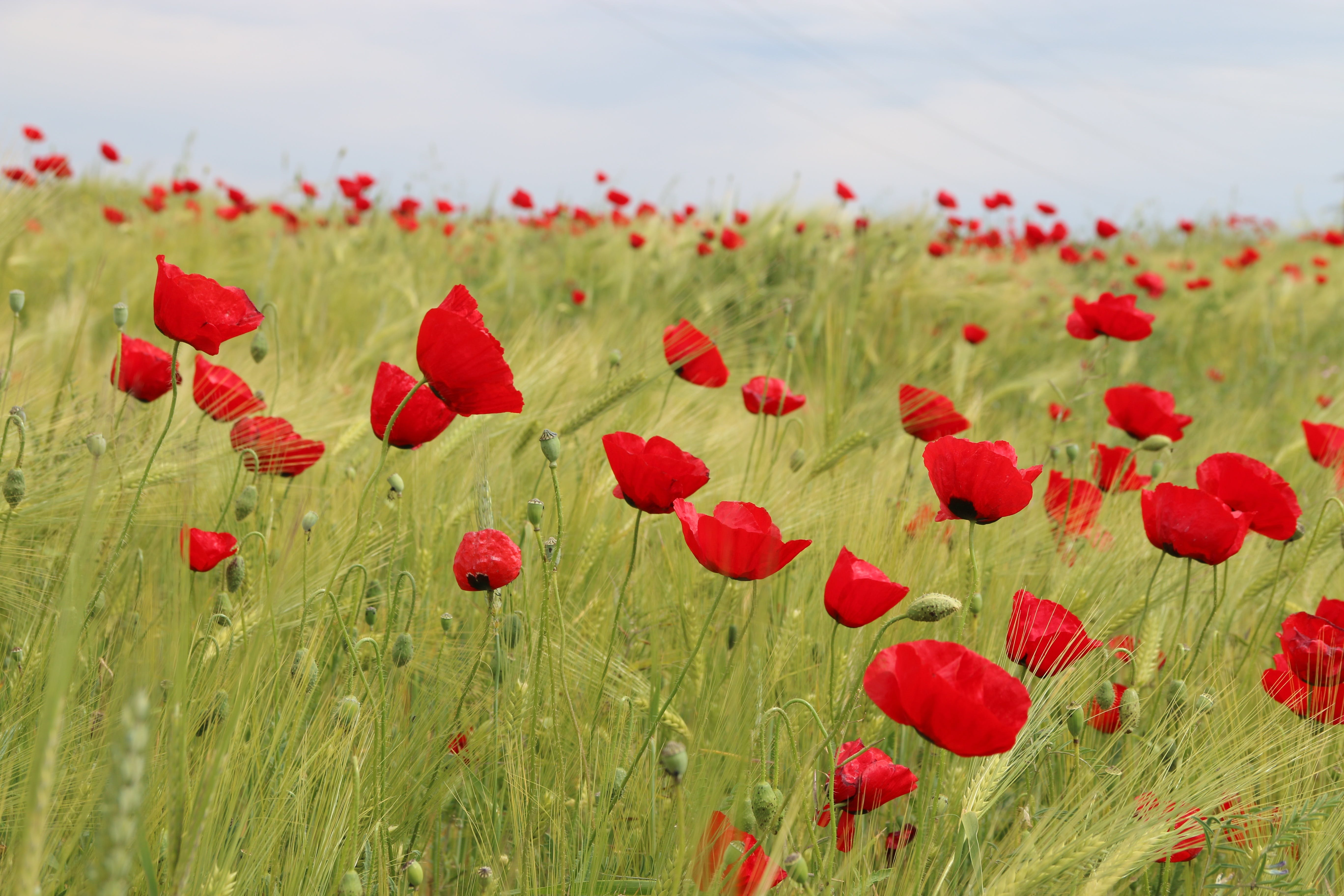 Fotobanka sbezplatnými fotkami na tému červená, detailný záber, flóra, hracie pole