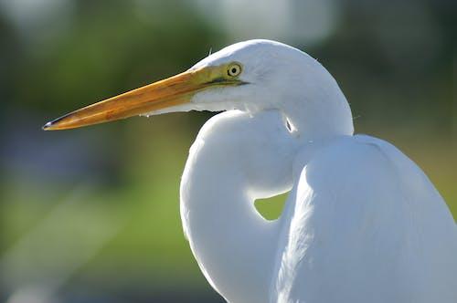 balıkçıl, beyaz, beyaz ak balıkçıl, doğa içeren Ücretsiz stok fotoğraf
