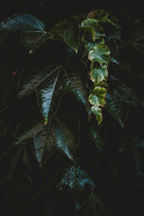 Dark green leaves of creeper plant
