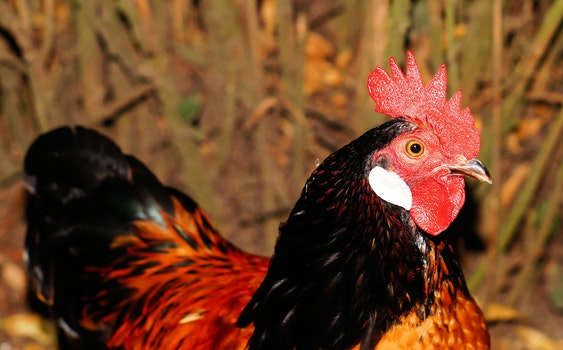 Red and Brown Rooster