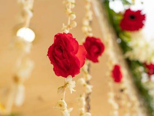 Free stock photo of Lovely rose