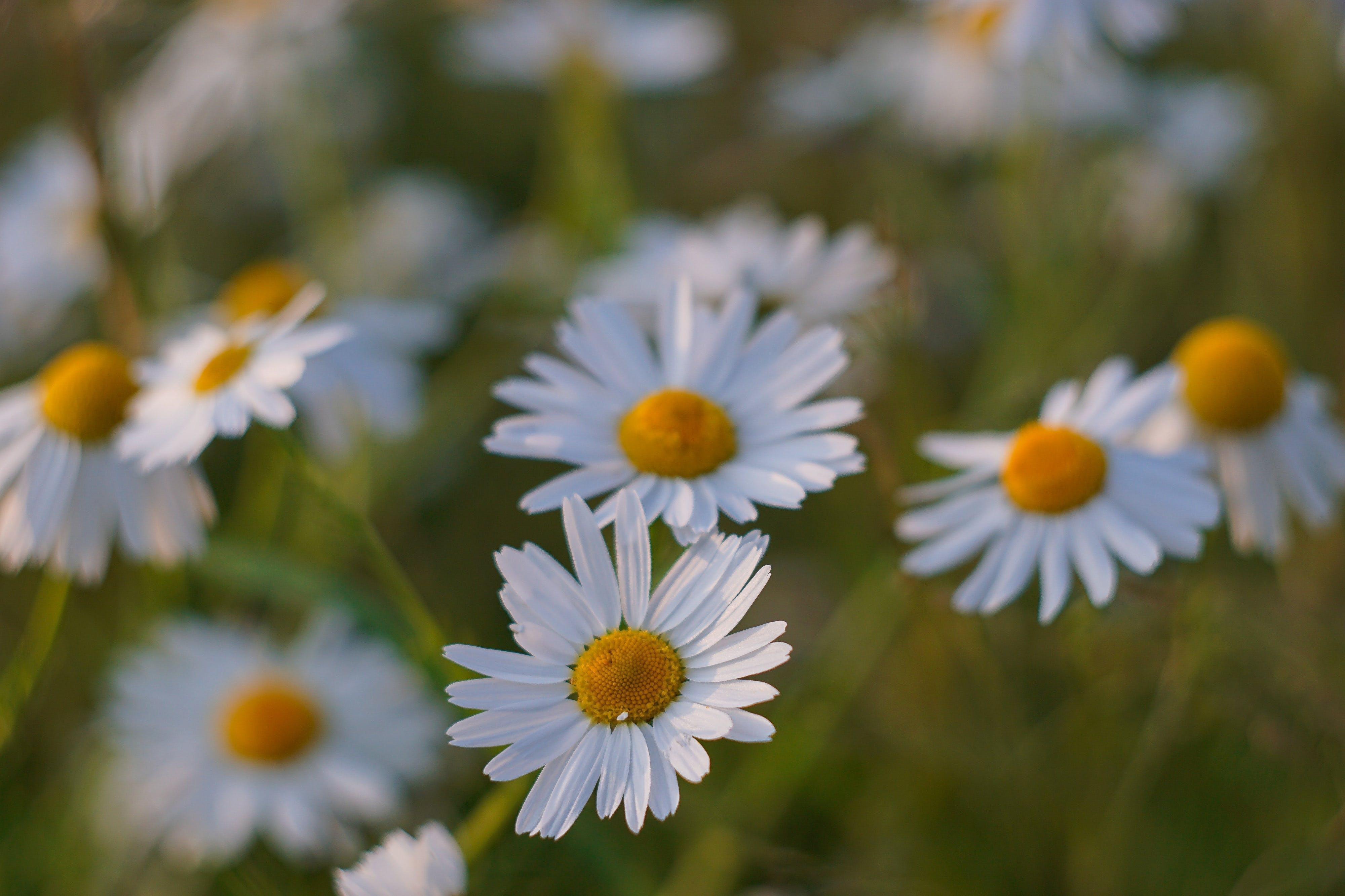 Základová fotografie zdarma na téma bílá květina, flóra, hřiště, jasný