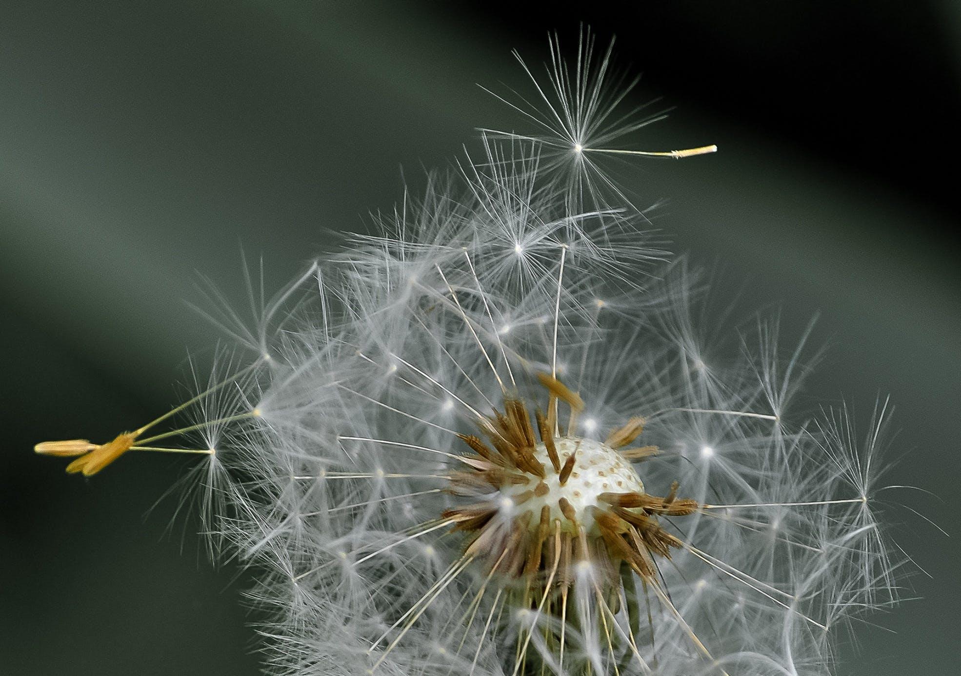 White Dandelion in Closeup Photography